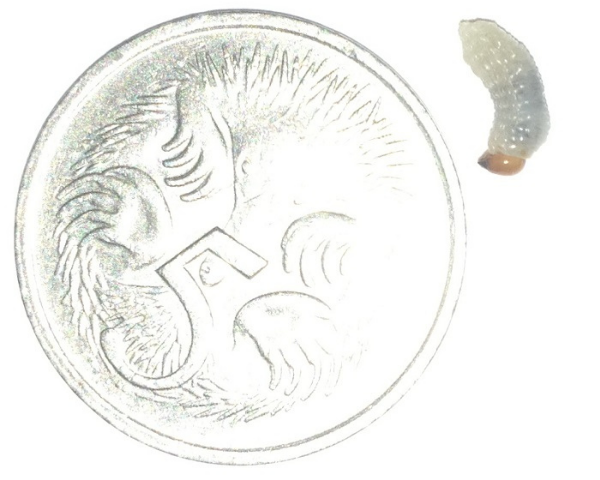 pests-billbug-larvae-with-5-cent-coin-colin-campbell