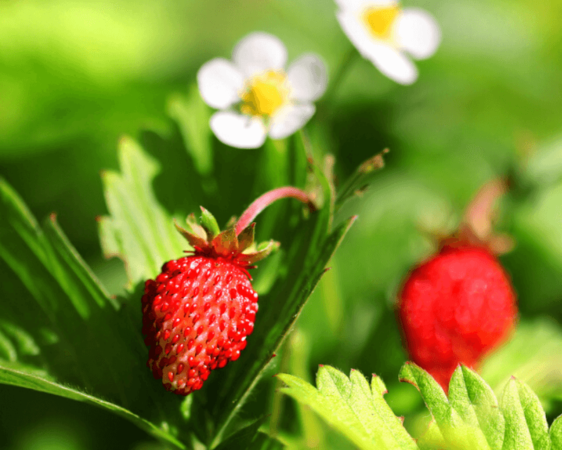 alpine-strawberries_1587537134713