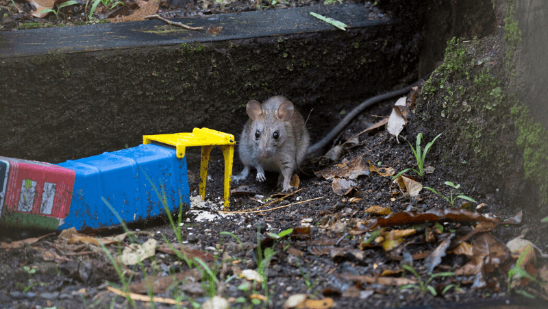 How To Get Rid Of Rats And Mice Around The House