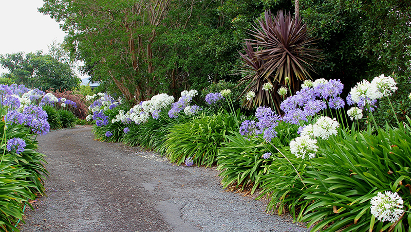 how-to-grow-agapanthus_1575601612648