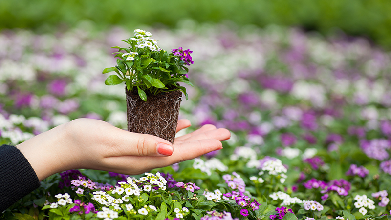 how-to-grow-alyssum_1551154933009
