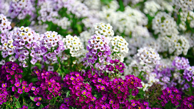 how-to-grow-alyssum_1551154943252