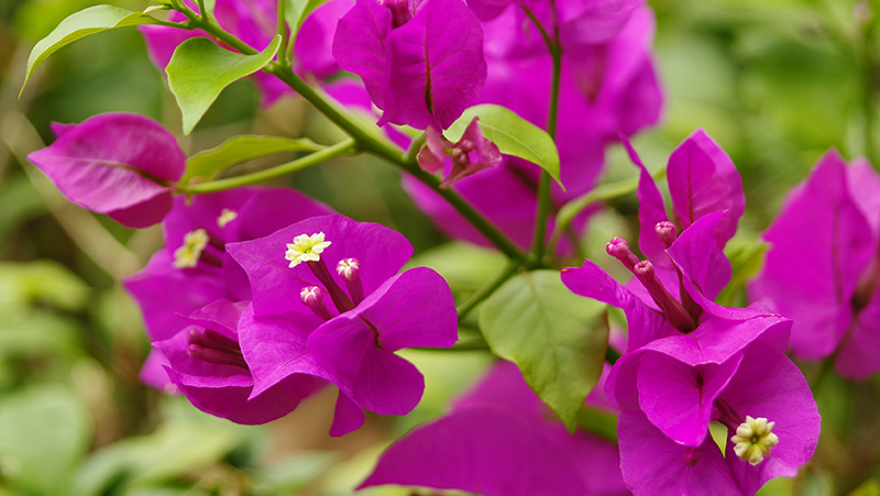 how-to-grow-bougainvillea_1551154948127