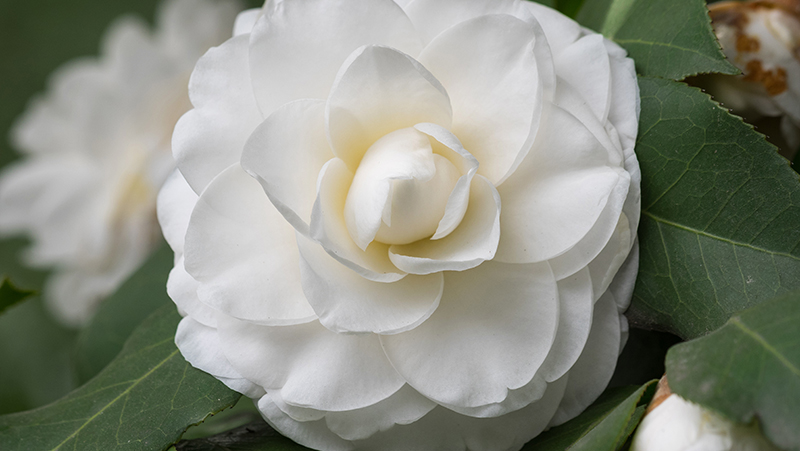 how-to-grow-camellia_1551154923831