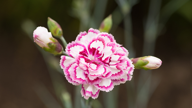 how-to-grow-carnations_1551154943010