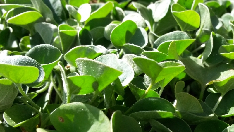how-to-grow-dichondra-silver-falls_1551160392095