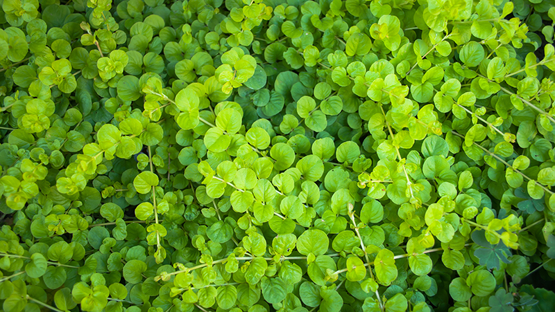 how-to-grow-dichondra-silver-falls_1551160407765