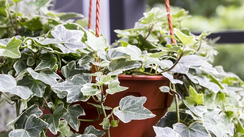 how-to-grow-ivy_1551154969540