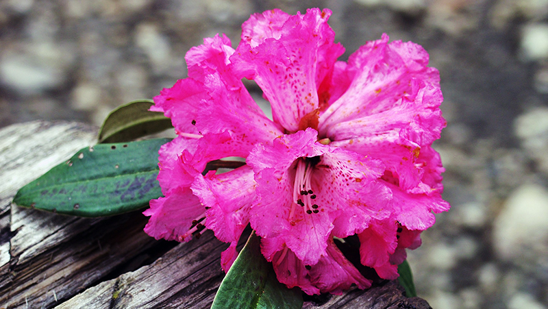 how-to-grow-rhododendron_1551154920084