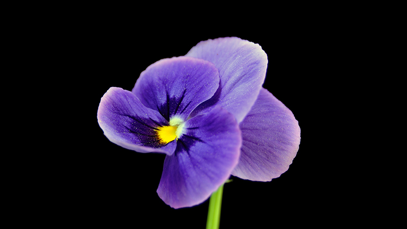 how-to-grow-violas_1551154947951