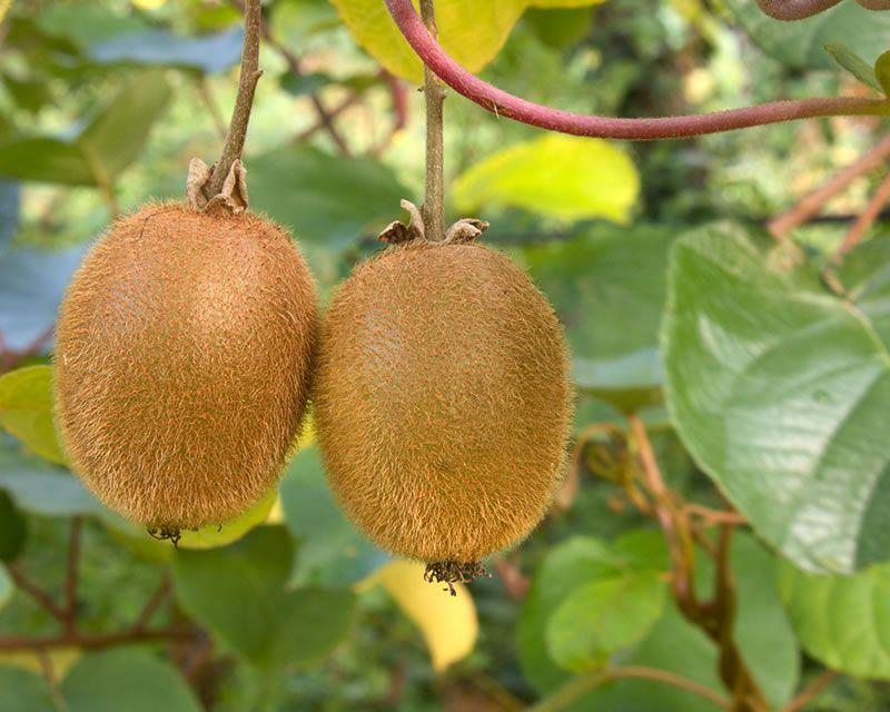 How To Grow Kiwifruit Yates
