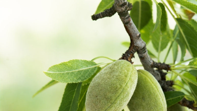 how-to-grow-almond_1551160467838