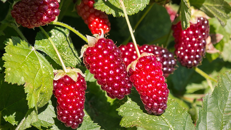 how-to-grow-loganberry_1553581150736