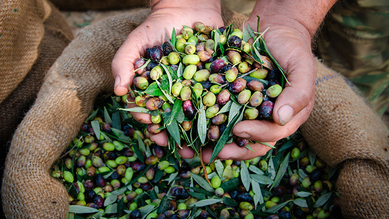 how-to-grow-olives_1551154995743