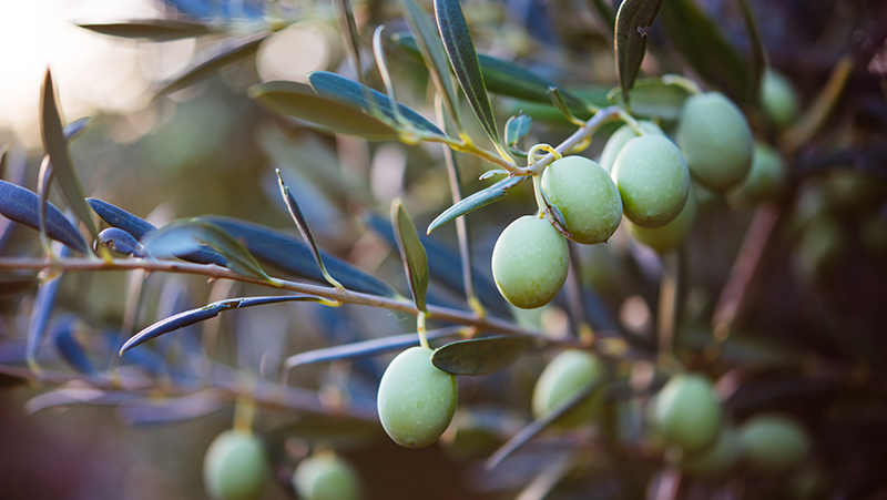 how-to-grow-olives_1551155003630
