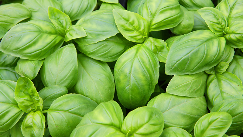 how-to-grow-basil_1551160331594
