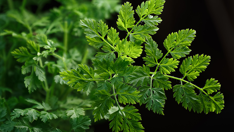 how-to-grow-chervil_1551160333210