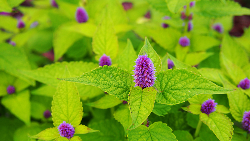 how-to-grow-hyssop_1551160331201