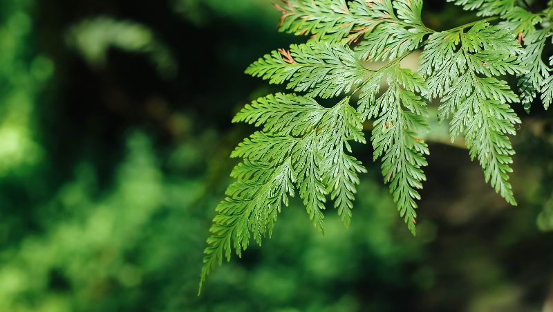 how-to-grow-hares-foot-fern_1552017779012