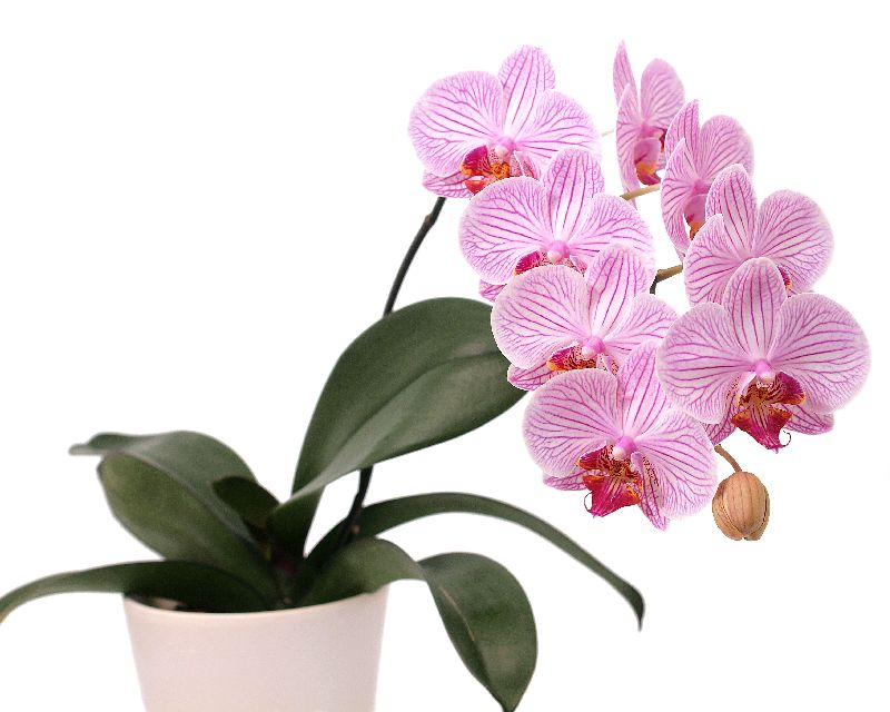 how-to-grow-moth-orchids_1563866547723