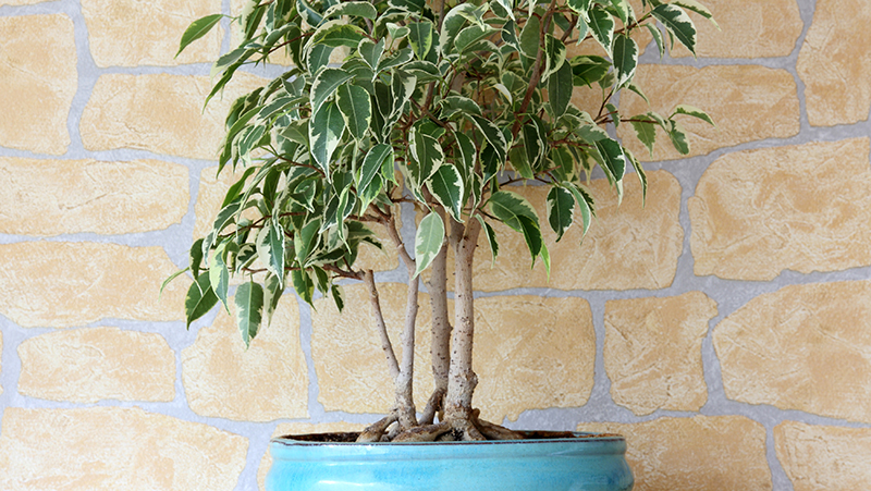 how-to-grow-weeping-fig_1551160337185