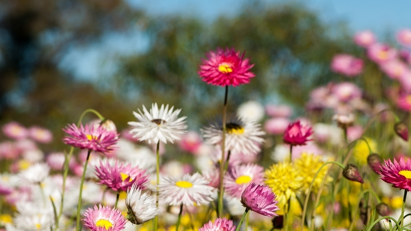 how-to-grow-everlasting-daisies_1551160392277