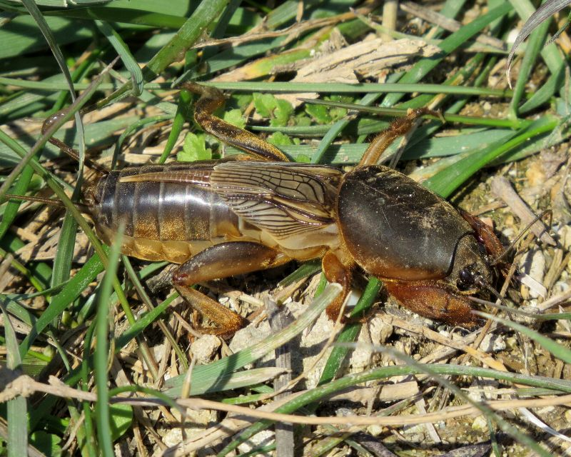 pr tn pests mole cricket - How To Get Rid Of Mole Crickets In Vegetable Garden