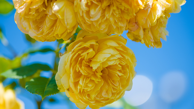 how-to-grow-roses_1551154920285
