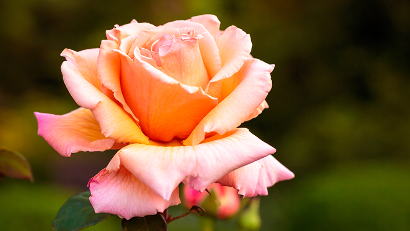 how-to-grow-roses_1551154952304