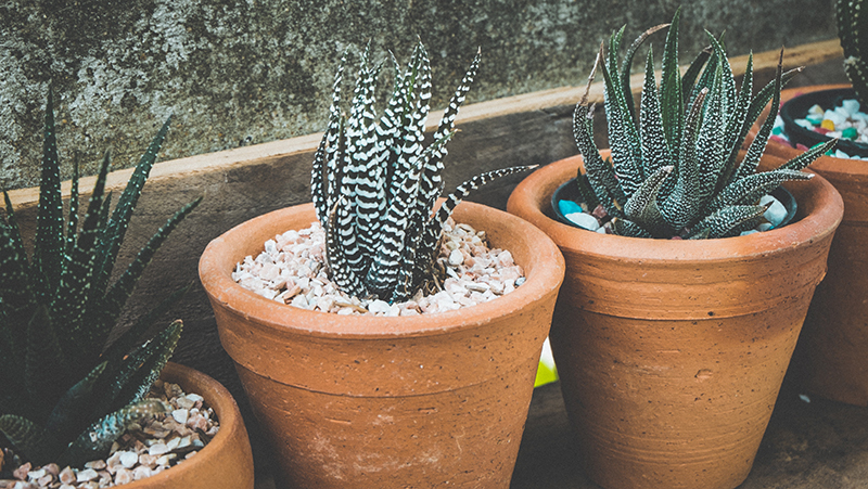 how-to-grow-haworthia_1551160450771