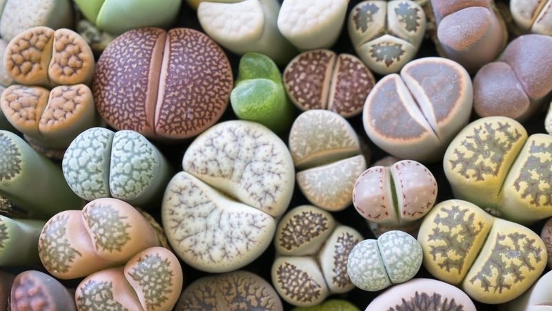 how-to-grow-lithops_1551160452975