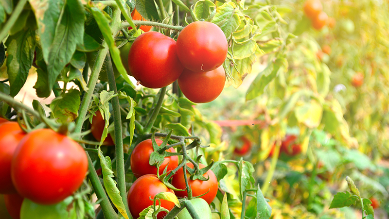 how-to-grow-tomatoes_1551160517557