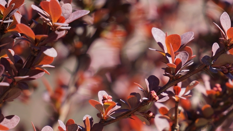 how-to-grow-berberis_1551760156520