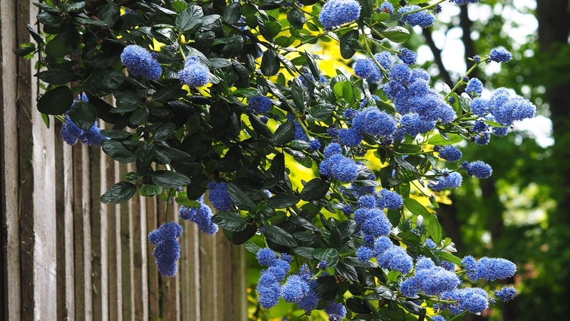 how-to-grow-ceanothus_1551760748067