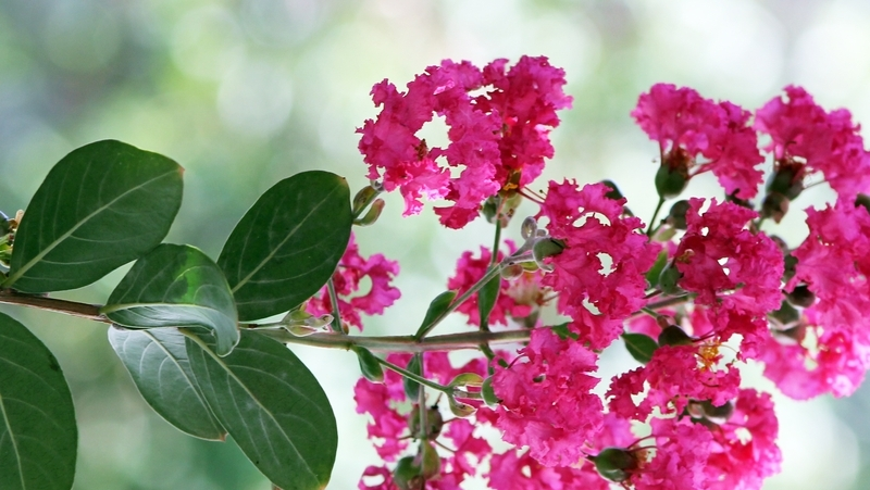 how-to-grow-crepe-myrtle_1551762105798
