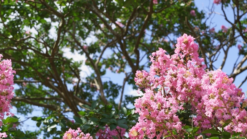 how-to-grow-crepe-myrtle_1551762107611