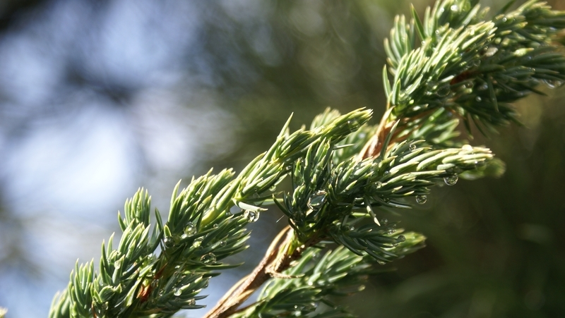 how-to-grow-juniper_1551766108166