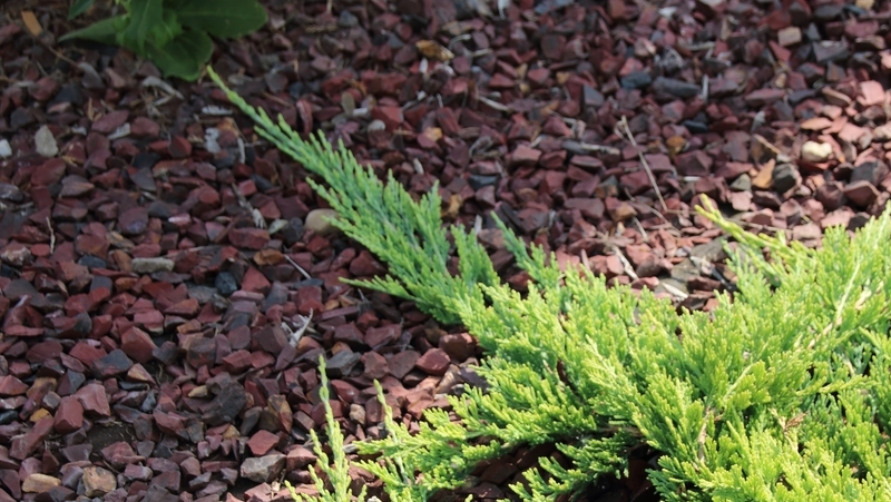 how-to-grow-juniper_1551766112186