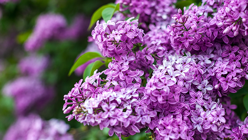 how-to-grow-lilacs_1551160481589
