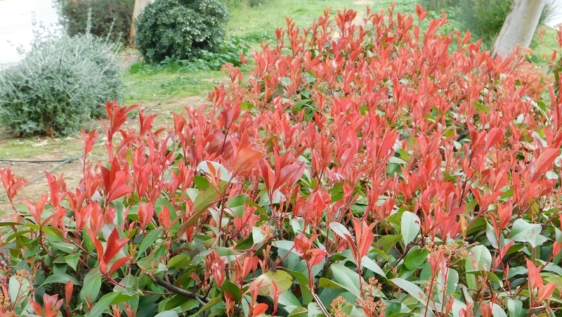 how-to-grow-photinia_1551840322002