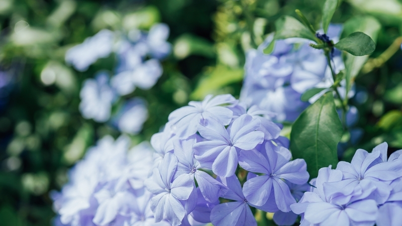 how-to-grow-plumbago_1551840905148