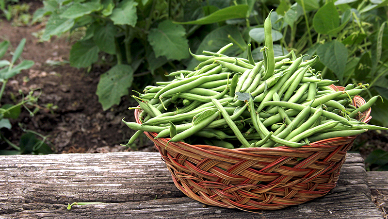 how-to-grow-beans_1551160526517
