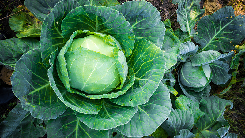 how-to-grow-cabbage_1551160548824