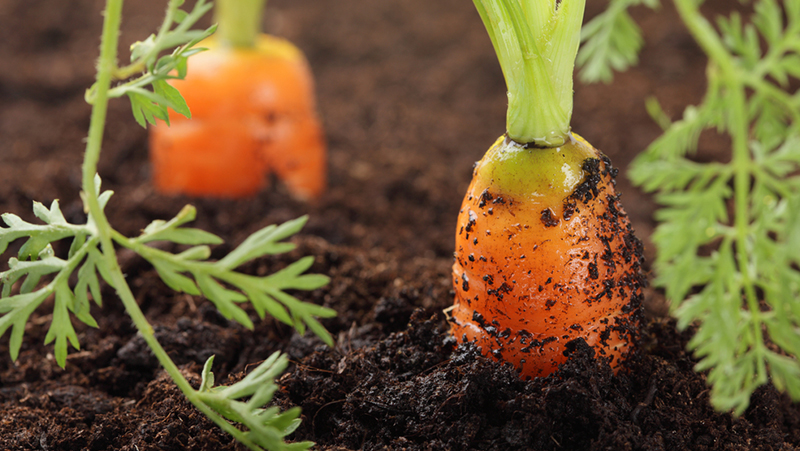 how-to-grow-carrot_1551160519903
