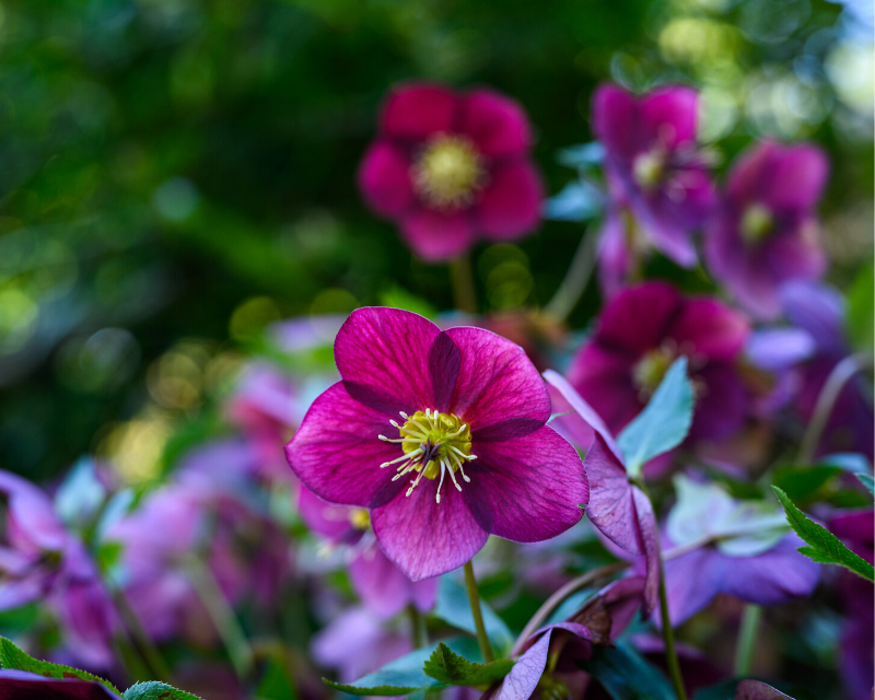 hellebores-roses-of-winter-1